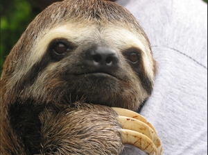 Here is a sloth who looks friendly but wait LOOK AT THOSE CLAWS!!