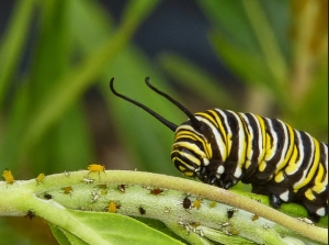 Insert your flimsy segue from multi-coloured spells to this Monarch caterpillar here.