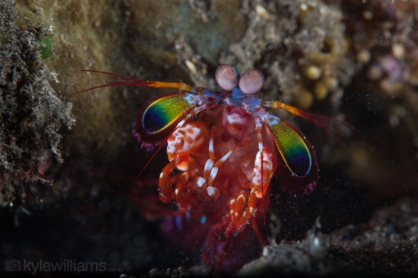 Peacock Mantis Shrimp Kyle Williams
