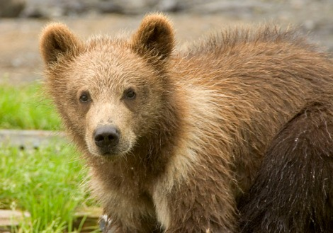 Alaska US FWS Bear
