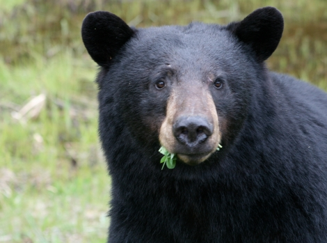 Jethro Taylor Black Bear.jpg